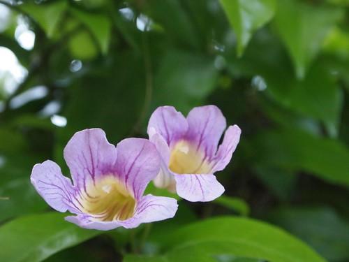 Garden Inventory: Clytostoma callistegioides - 01