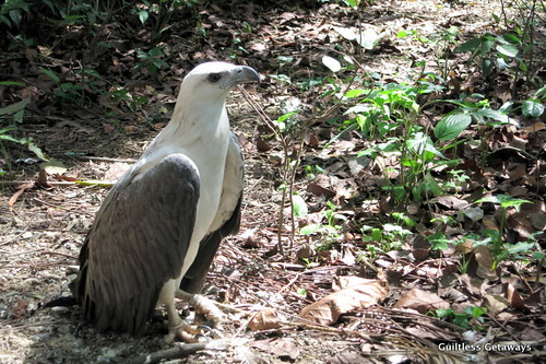 white-bellied-eagle.jpg