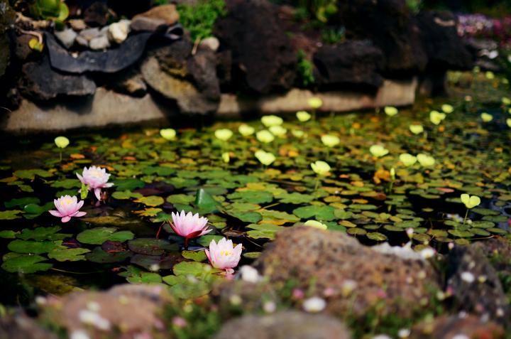 lily pond b