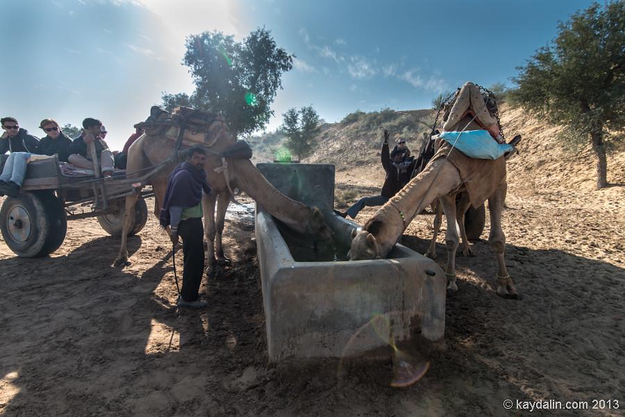 Верблюды на водопое. Биканер. Индия