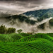 F_DDF_3849-霧漫-Foggy-八卦茶園-Bagua Tea Plantation-海拔1000+公尺-Altitude 1000+M-探索南投-Exploring Nantou County-台灣-Taiwan-中華民國-Rep of China-Nikon D700-Nikkor 16-35mm-May Lee 廖藹淳 by May-margy