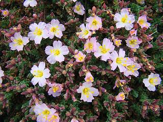 Frankenia chilensis