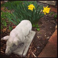 Daffs! #springblooms #homesweethome #elmwood