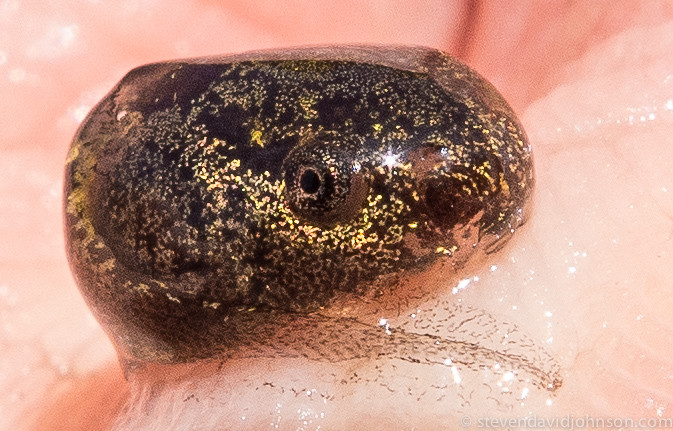 Pacific Chorus Frog tadpole, Lincoln, Oregon