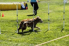 greyhound racing(0.0), dog sports(1.0), animal sports(1.0), dog(1.0), grass(1.0), sports(1.0), pet(1.0), conformation show(1.0), dog agility(1.0),