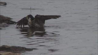 Peregrine bathing