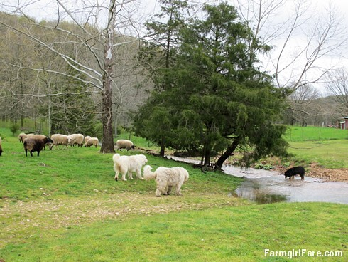 Sheep heading out to eat breakfast (6) - All the good grass is on the other side of the creek - FarmgirlFare.com
