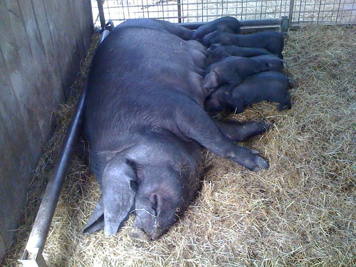Pig with babies