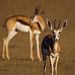 Springbok in golden light by gerdavs