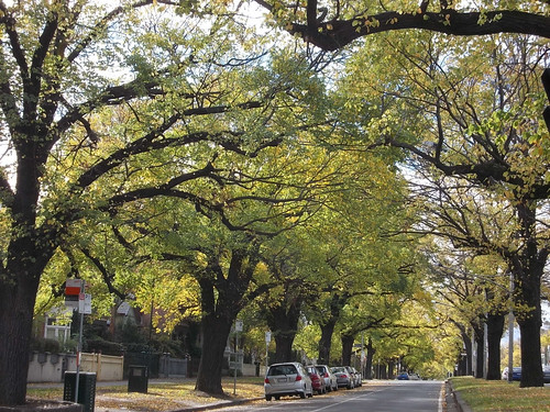 Elm trees on Royal Parade