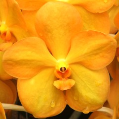 Golden Vanda Orchid,