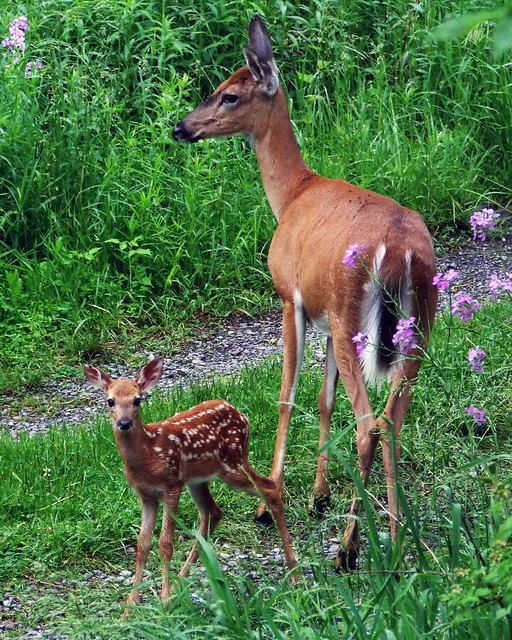 mother deer and fawn 2