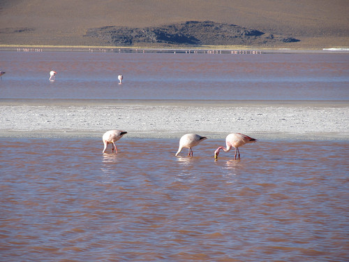 Le Sud Lipez: la Laguna Colorada et ses 3 sortes de flamants roses