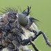 Robberfly close up by Cristian Arghius