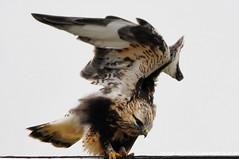 Hawk - Rough-legged