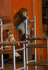 被鍊住的猴子。(圖片來源:關懷生命協會)