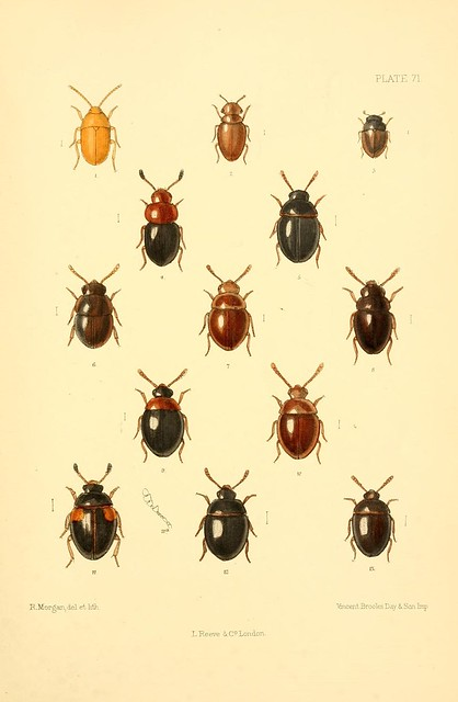 The Coleoptera of the British islands : a descriptive account of the families, genera, and species indigenous to Great Britain and Ireland, with notes as to localities, habitats, etc. v.3 (1889)