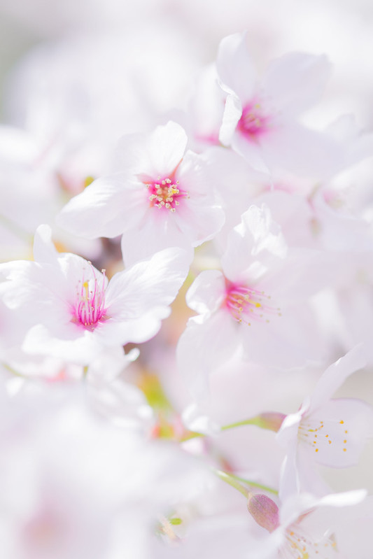 Cherry Blossom *