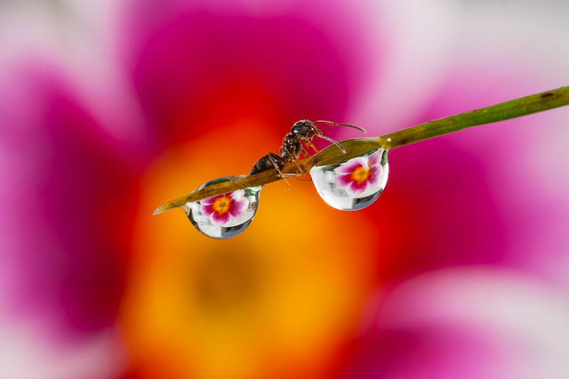 Droplet With Ant