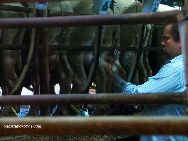 island pure dairy sheep milking
