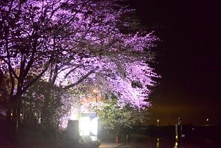 旅館の桜@庄川。