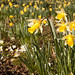Wild Daffodils by Paul-Griff