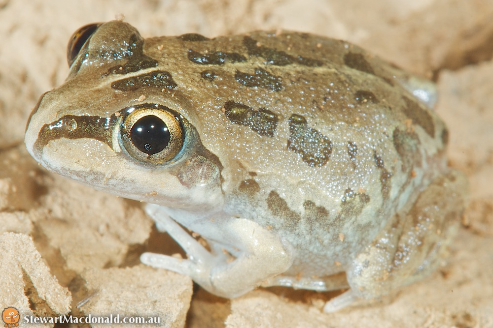 Short-footed frog (Cyclorana brevipes)
