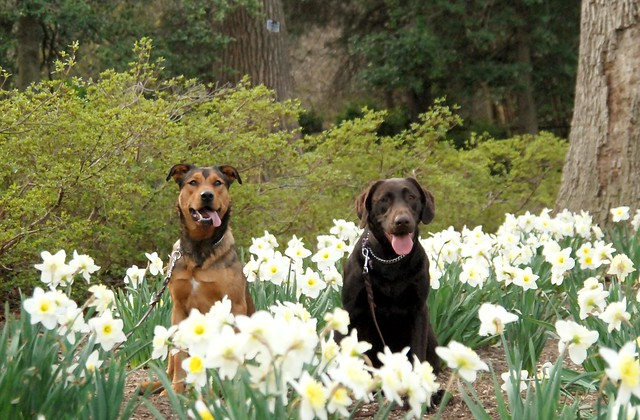 Mosby and Dori in the Daffodils