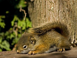 Squirrels 153 © Michel Lalonde