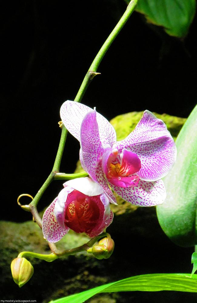 CincyZoo Orchid