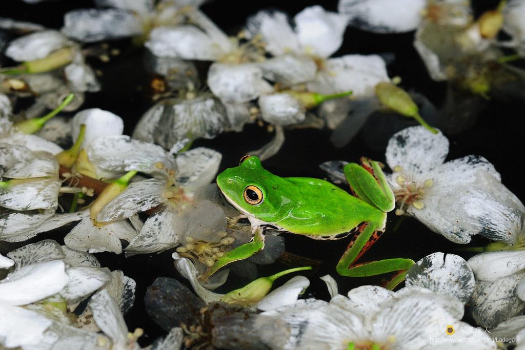 樹蛙水中游