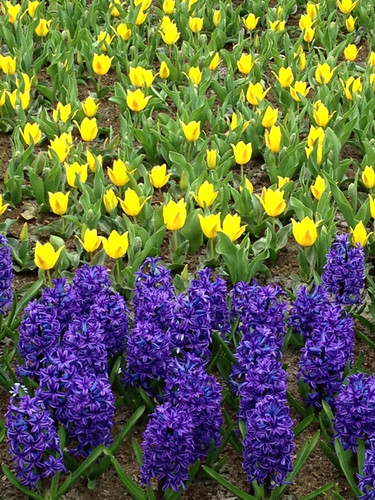 Keukenhof - hyacinths and yellow tulips