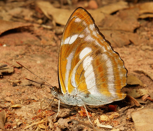 Orange Staff Sergeant, male (Athyma cama, Nymphalidae)
