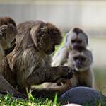 Wedge-capped capuchin | Monos capuchino (Cebus olivaceus)