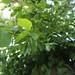 Garden Inventory: Chinese Elm (Ulmus parvifolia) - 04