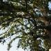 Garden Inventory: Chinese Elm (Ulmus parvifolia) - 09