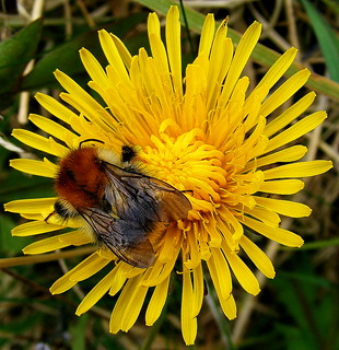 Fuji FinePix S5800-S800.Super Macro Carder Bee On A Rocking Dandelion Flower.May 2nd 2013.