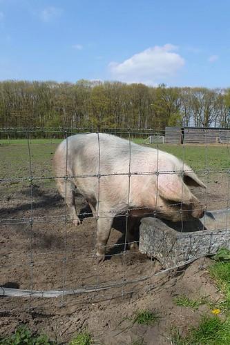 big pig standing in mud