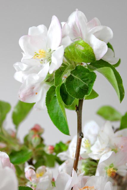 Apfelblüten – apple blossom