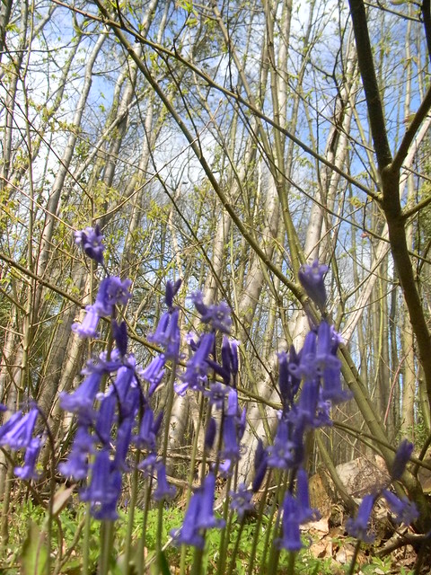 Bluebells and chestnut
