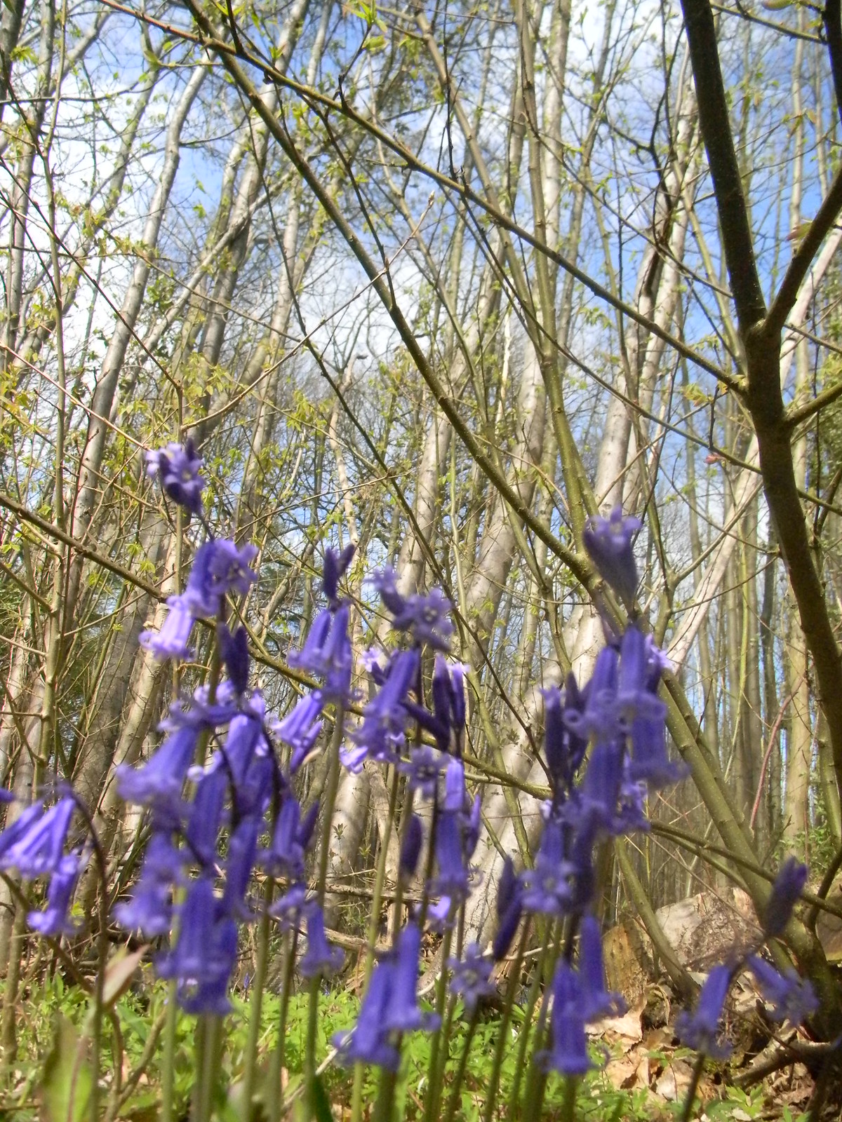 Bluebells and chestnut Bekesbourne Circular