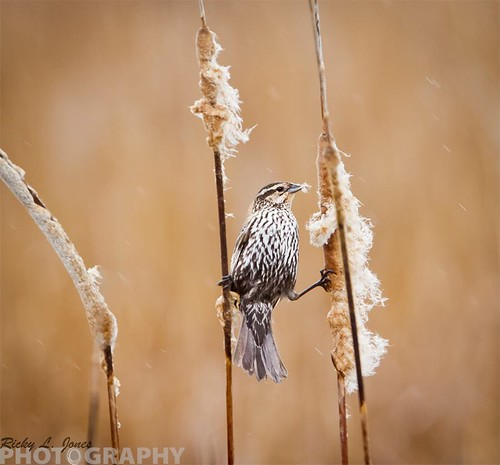 Female Red-Winged Blackbird by Ricky L. Jones Photography