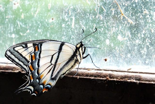 swllwtail