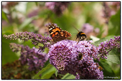 Painted Lady butterfly & Bumblebee