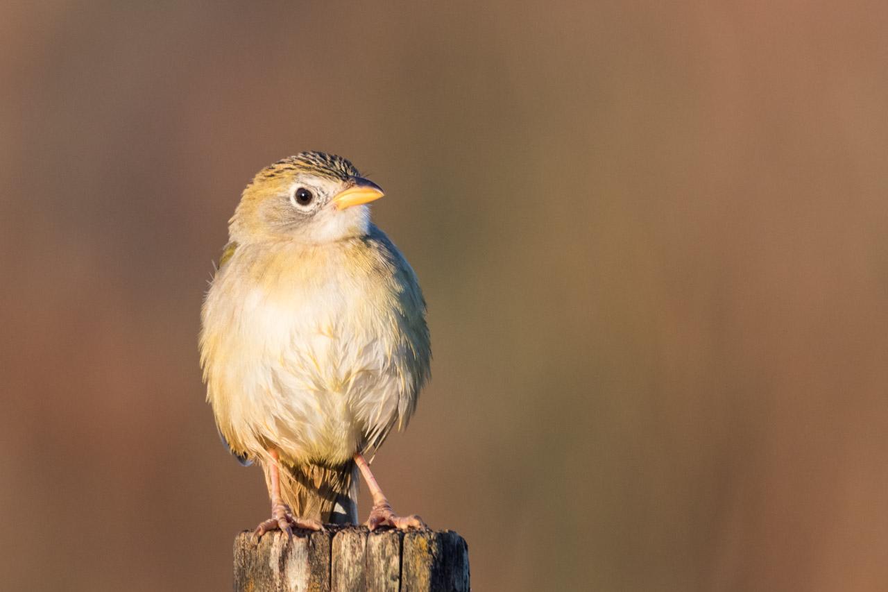 Un Coludo Grande (Emberizoides herbícola), se expone al sol en las primeras horas de la mañana, rumbo a la Reserva Morombí. Un ave que caza insectos y consume semillas; busca alimento en el suelo y es muy territorial. (Tetsu Espósito)