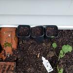 pumpkin seeds into 3 pots