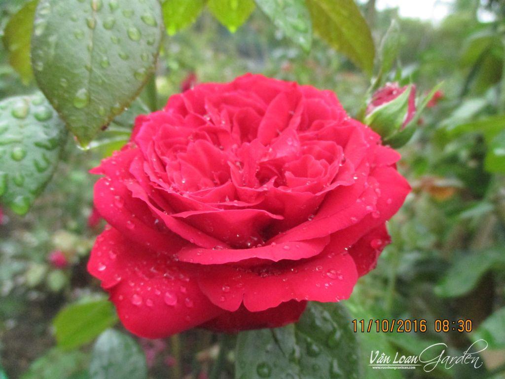 Những bông hoa ở tầng dưới của lá ở gần mặt đất, form hoa vun cao, cánh hoa xoán lại hình chén