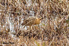 HolderBittern,photos taken today 29 September 2016,wildlife trust reserve Jubilee Lake Calvert Buckinghamshire
