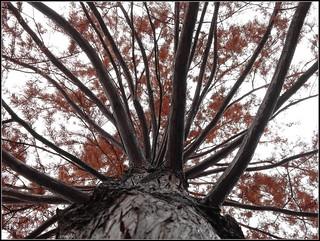 Sumpfzypresse Taxodium