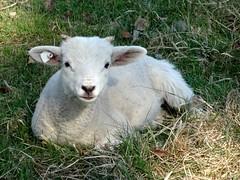 animal, grass, mammal, goats, grazing, fauna, mountain goat, meadow, pasture, wildlife,